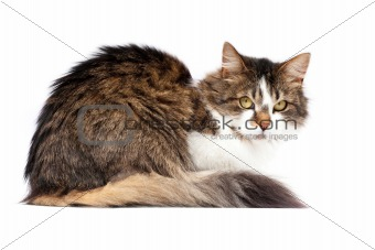 Laying cat isolated over white background