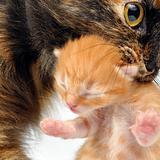 mother cat carrying newborn kitten