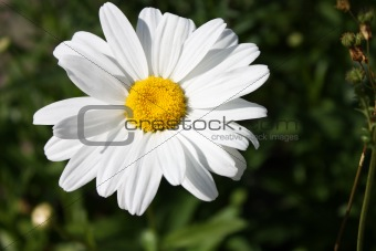 Camomile on the sun