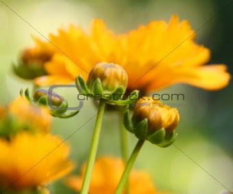 Calendula plant buds