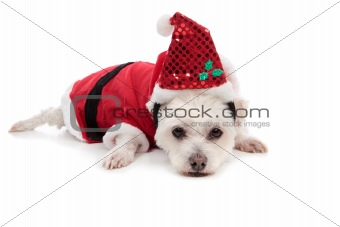Small white dog in santa suit
