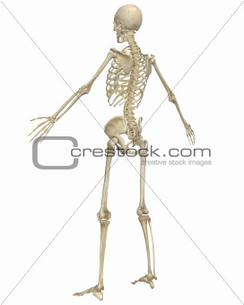 Human Skeleton Anatomy Angled Rear View