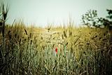 Golden grain field closeup with poppy flower