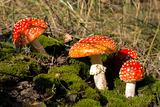 Red mushrooms among moss