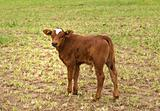 Spring time young brown calf for beef