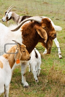 Billy goat with nanny goats