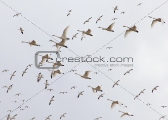 rising snow geese & tundra swans