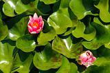 Pink waterlily (Nymphaeaceae - Nymphaea alba)