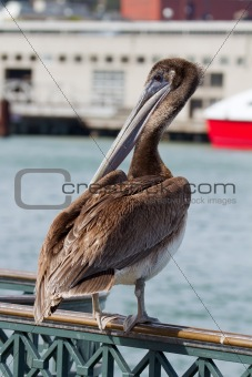 Pelican by the Pier in San Francisco Bay