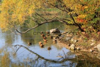 autumn,Geese  swim