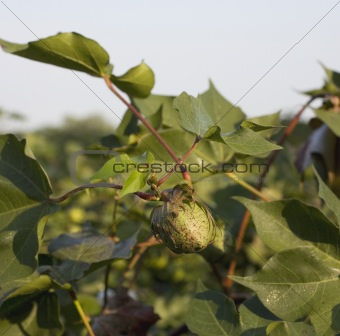 Ripening cotton pod
