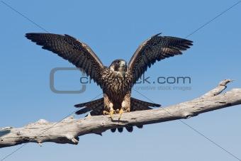 Peregrine Falcon (Falco peregrinus anatum)