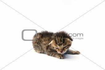 Kitten over white background