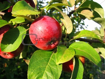 branch with red apple
