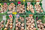 Tulip bulbs sales on street market in Stockholm, Sweden