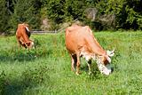 Two cows on summer meadow 