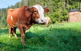 Summer morning country landscape with cows