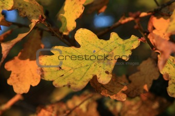 Autumn oak leaves in morning sunlight