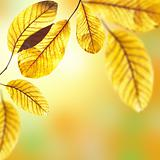 Beautiful golden leaves of walnut tree in warm sunbeam. Autumn p