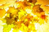 Autumnal backround. Bright fallen maple leafs at sunbeam