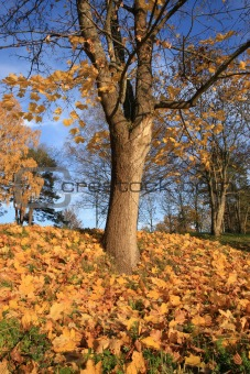 Autumn leaves under tree