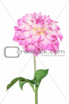 Single Pink Dahlia
