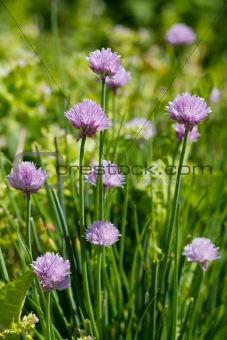 Allium Schoenoprasum known as Chives