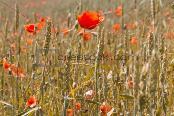 golden wheat with red poppy