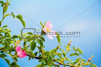 blossom detail of Fructus cynosbati