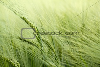 detail of organic green grains