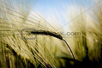 closeup detail of golden organic grains