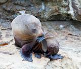 Sea Lion Thinker