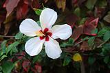 White flower of hibiscus