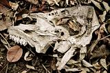 Piece of animal skull lying among faded leaves