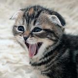 Kitten is laughing