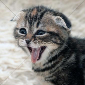 Kitten is laughing
