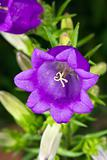 Campanula Flower