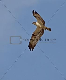 osprey flying in the sky