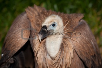 Vulture, The Merindades, Burgos, Spain