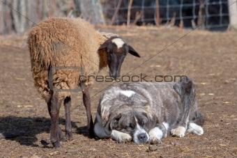 Flock of sheep, The Omañas, Leon, Spain