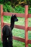 Sweet Young Black Alpaca