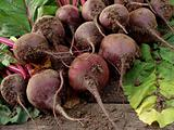 beetroots harvest