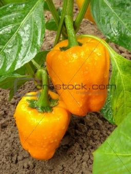 orange peppers