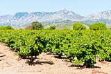 vineyars in Languedoc-Roussillon, France