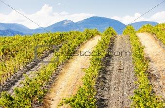 vineyars near Saint-Paul-de-Fenouillet, Languedoc-Roussillon, France