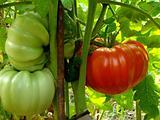red giant tomato