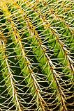 Detail of a golden barrel (Echinocactus grusonii) cactus