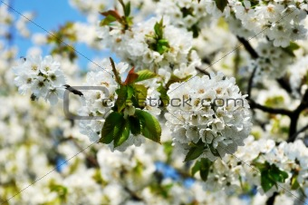 Blooming apple