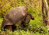 Wild Tortoises Mating
