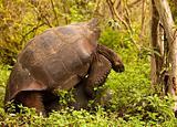 Wild Tortoises Mating